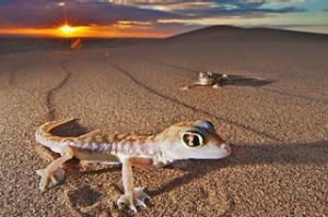 A web-footed gecko leaves a telltale trail in the Namibian desert.