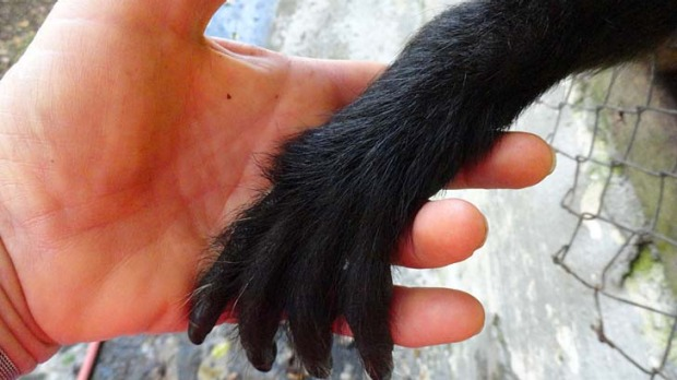 Volunteer at La Marina holding hands with a rescued spider monkey.