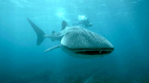 Swim with whale sharks at Ningaloo Reef, Western Australia.