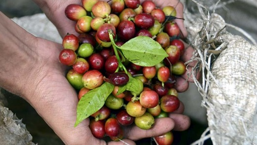 Coffee berries in Chikmagalur.