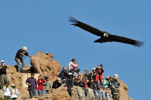 When they take off, their soaring looks effortless. Charles Darwin noted that he once watched condors ride thermals for ...