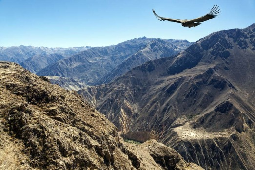 Wind assisted .. a condor soars above Colca Canyon, Peru.