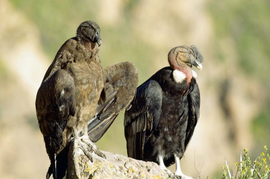 Condors have an impressive size - they weigh up to 15 kilograms with a wingspan that can reach more than three metres. ...