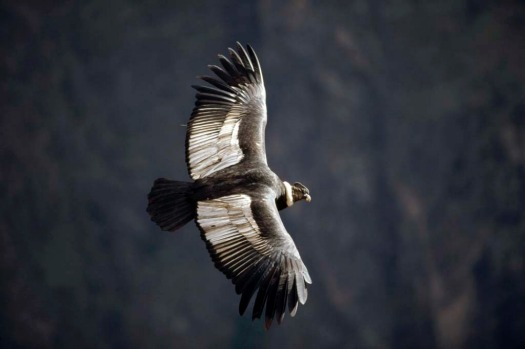 Ideally, getting to Colca Canyon to see the condors involves an early start.