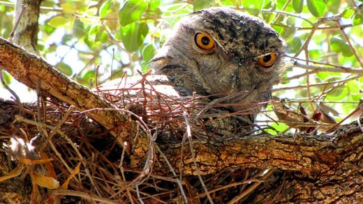 Nesting... a tawny frogmouth.