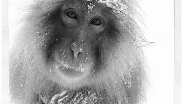 Japan snow monkey by @lionel_88
