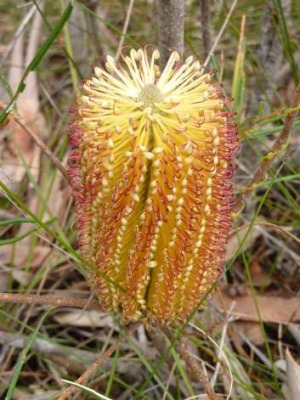 One of thousands of flowering banksias along the Box Vale track