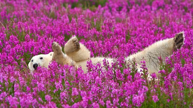 Close call ... a polar bear rolls in fireweed.