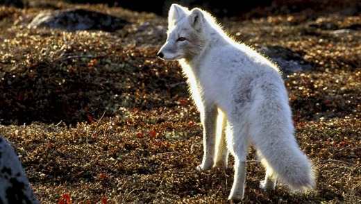 Terrified and fascinated ... an Arctic Fox.