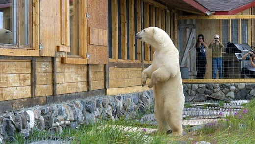 Polar bears are curious about human activities and cooking smells.