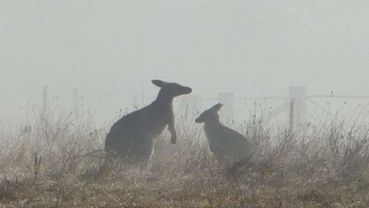 Two kangaroos enjoy a frosty frolic at the Aranda Frost Hollow