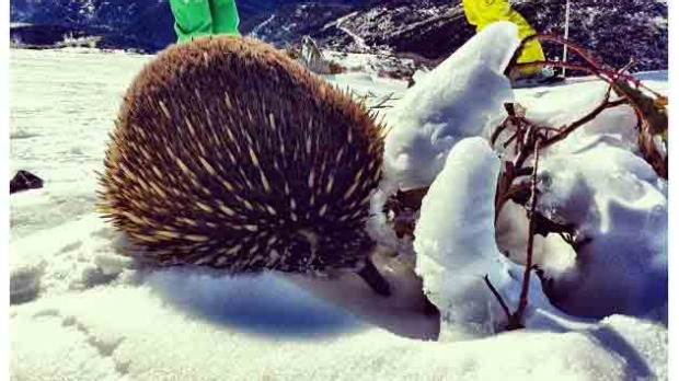 Echidna at the summit by @tarasvs