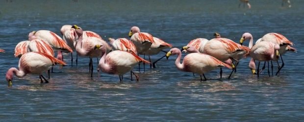 A flock of flamingos are seen wading in Laguna Colorada located within the Eduardo Abaroa Andean National Fauna Reserve.