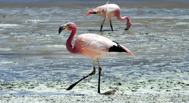 Flamingos are seen wading in Laguna Colorada.