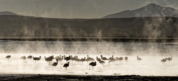 A flock of James's flamingos (phoenicoparrus jamesi) are seen wading in thermal waters.