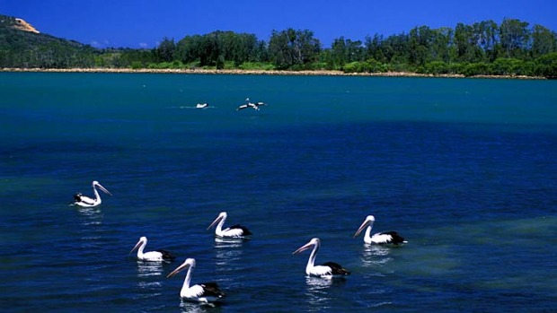 Calm waters ... pelicans on the Camden Haven River.