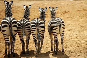 South African zebras.