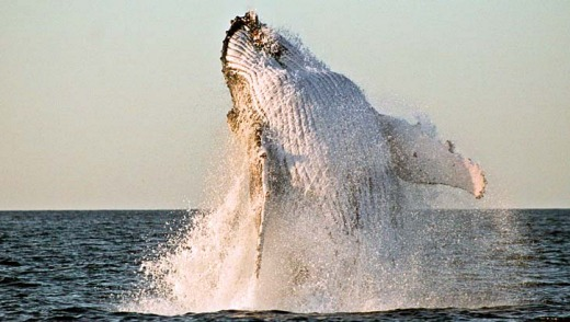A whale breaches off the Tweed Coast.