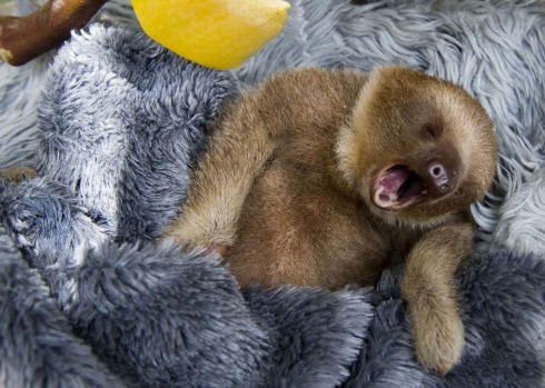 Vets say sloths eat only leaves, do not drink water and in Costa Rica tend to live on the Caribbean coast to the east ...