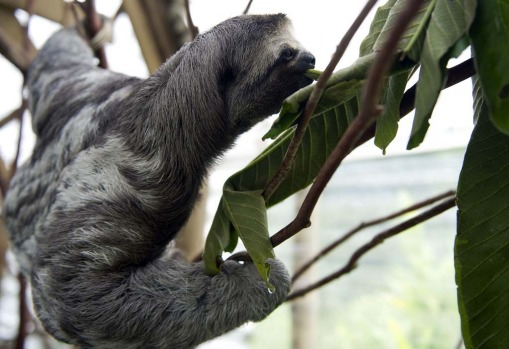 Vets say they eat only leaves, do not drink water and in Costa Rica tend to live on the Caribbean coast to the east ...