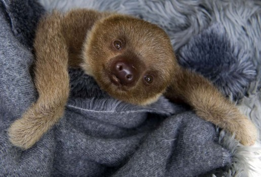 The sloths brought in as babies stay for good, because they do not know how to live in their native habitat.