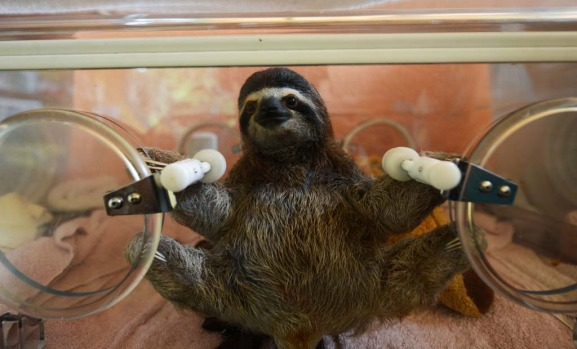 A baby brown-throated sloth (Bradypus variegatus) remains in an incubator at the Sloth Sanctuary in Penshurt, some 220 ...