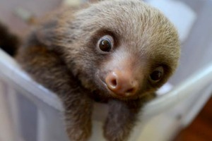 A baby Hoffmann's two-toed sloth (Choloepus hoffmanni) at the Sloth Sanctuary in Penshurt.