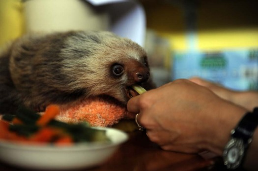 Claire, a worker at the Sloth Sanctuary in Penshurt, some 220 km east of San Jose, Costa Rica, helps a baby Hoffmann's ...
