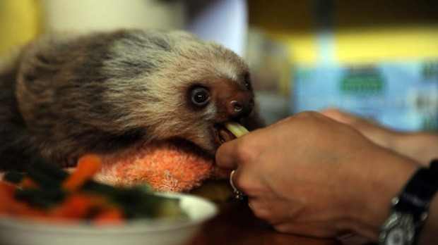 Claire, a worker at the Sloth Sanctuary in Penshurt, some 220 km east of San Jose, Costa Rica, helps a baby Hoffmann's two-toed sloth (Choloepus hoffmanni) eat.