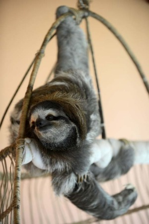 A brown-throated sloth (Bradypus variegatus) hangs from its claws at the Sloth Sanctuary in Penshurt, some 220 km east ...
