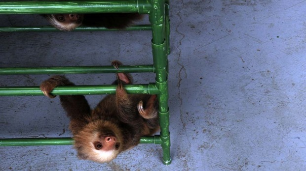 A baby Hoffmann's two-toed sloth (Choloepus hoffmanni) plays at the Sloth Sanctuary.