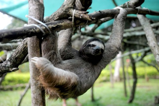 A brown-throated sloth (Bradypus variegatus) plays at the Sloth Sanctuary in Penshurt.