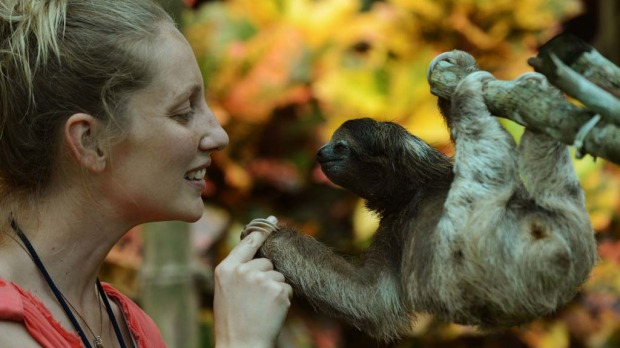 A volunteer at the Sloth Sanctuary plays with a brown-throated sloth (Bradypus variegatus) at the sanctuary in Penshurt, some 220 km east of San Jose, Costa Rica.