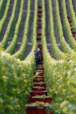 Harvesting grapes in  Champagne.