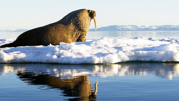 Ice and easy ... walrus sightings were a highlight of the tour.