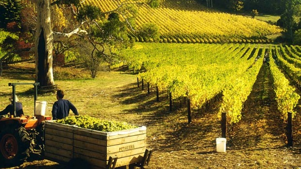 Green and pleasant ... the rolling vineyards of Hahndorf.