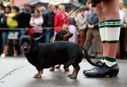 A traditionally Bavarian dressed man and his dogs wait for the opening parade during day one of Oktoberfest.