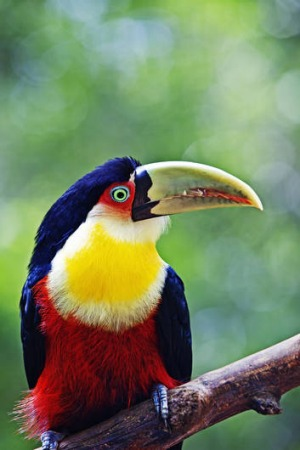A red-breasted toucan.