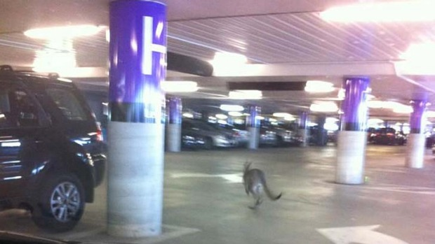 The kangaroo in the airport carpark.