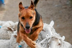 See working dogs at the Bairnsdale show.