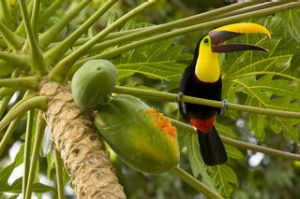 A keel-billed toucan.