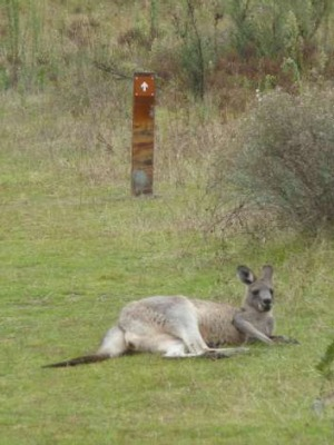 A kangaroo takes a rest in the mountains to the west of Canberra
