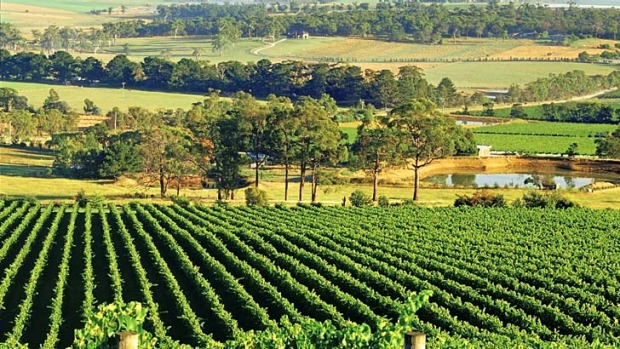 Lose yourself ... Yarra Valley vineyards at Healesville, Victoria.