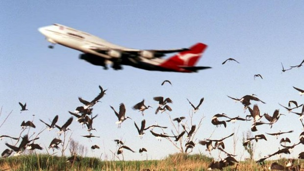 1751 bird strikes were reported Australia-wide in 2011.