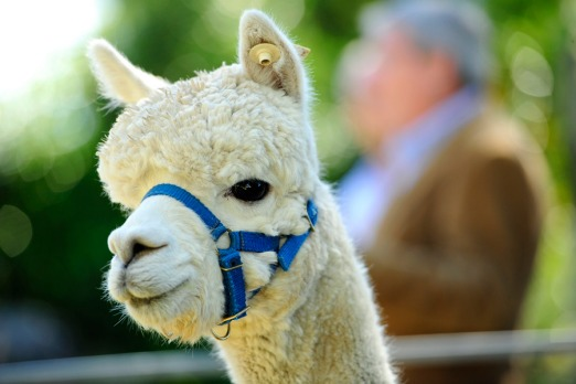Asked to purchase alpacas for a Middle Eastern royal family.
