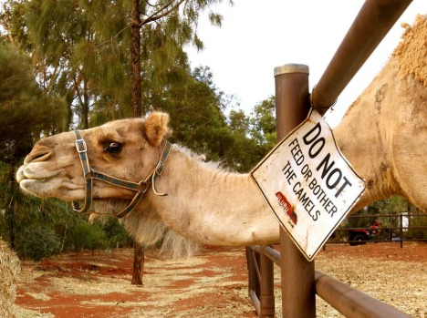World Heritage listed Uluru in Australia's Northern Territory. Photo shows camels at Uluru Camel Tours.