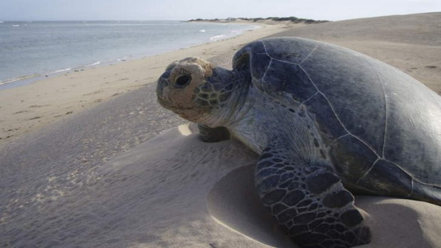 Circle of life ...  a mother turtle after nesting at Gnaraloo Station. Photos: Fleur Bainger