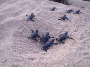Conservation project ... turtle hatchlings at Gnaraloo Station.