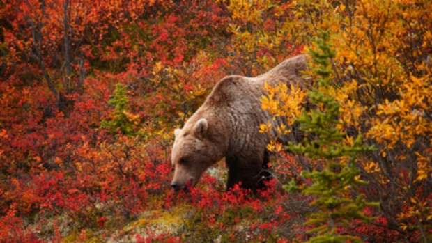 Lure of the land ... bear-watching in Denali National Park.
