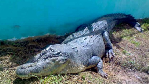 Lolong rests in his pen two days after being captured in 2011.